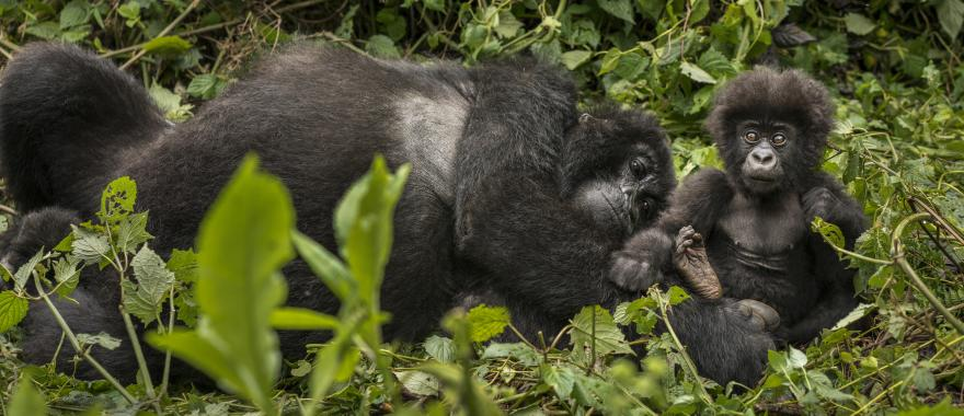 Female gorilla relaxing in a leafy area with her baby gorilla | Rwanda, Africa