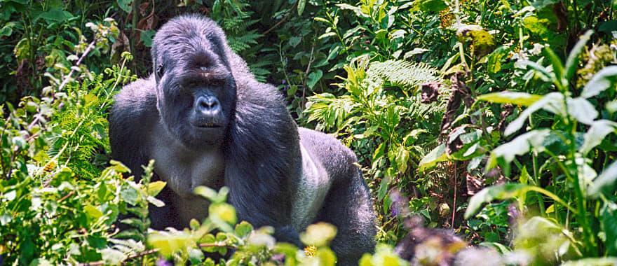 Large silver back Gorilla Trekking Uganda.