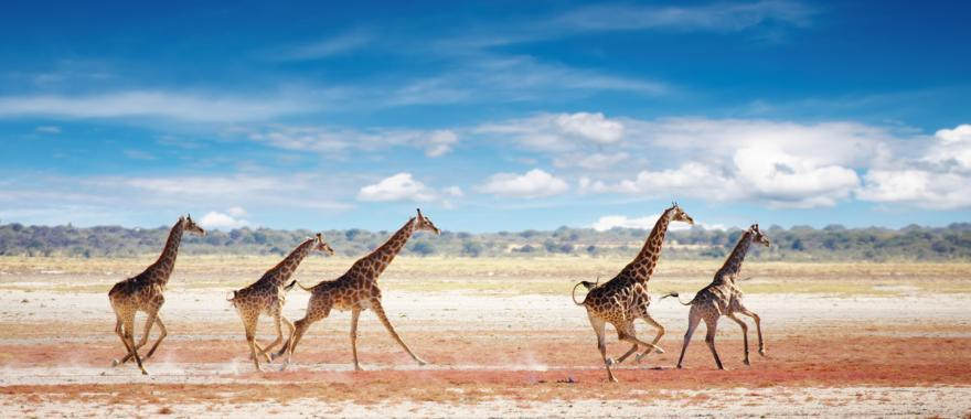 Group of giraffes running across the Ethosa National Park plains | Nambia, Africa