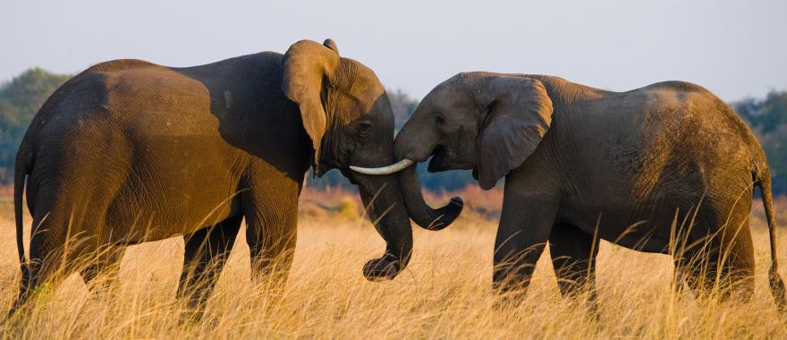 Two African elephants giving each other a warm embrace in Zambia, Africa