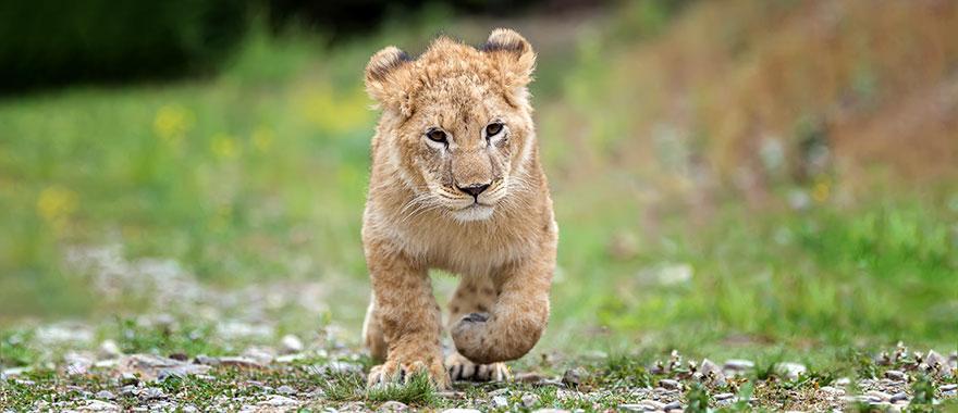 Male lion cub trotting