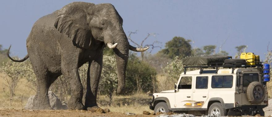 Massive African Elephant standing over a safari jeep in Chobe National Park in Botswana, Africa