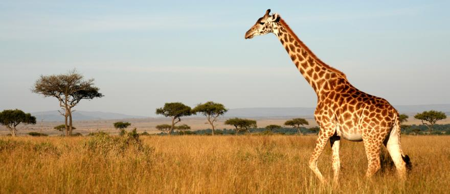A lonely giraffe crosses the savannah in Africa.