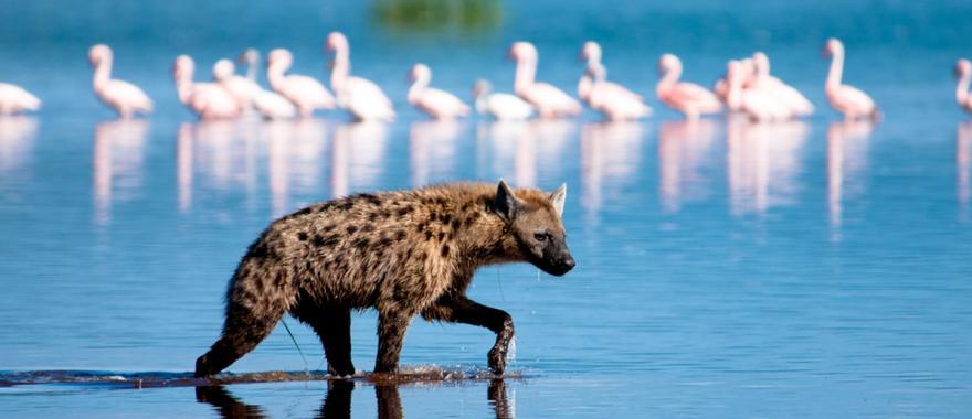 A hyena goes on the hunt in Kenya.