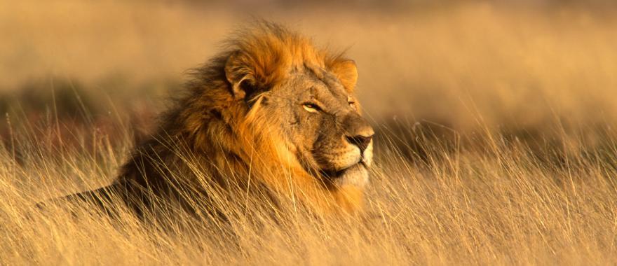 A magestic lion gazes across the land.