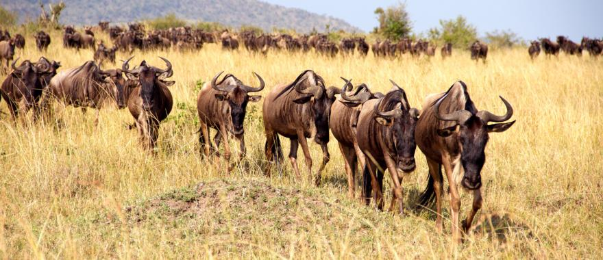 Wildebeest on the move during the great migration in Kenya Africa