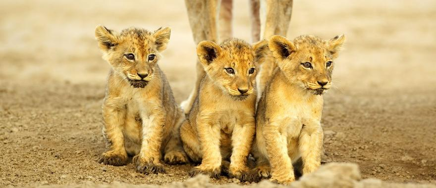 Trio of lion cubs sitting side by side and staring off into the distance | South Africa
