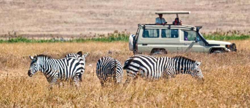 A safari car of tourists stops to admire zebras in Africa.