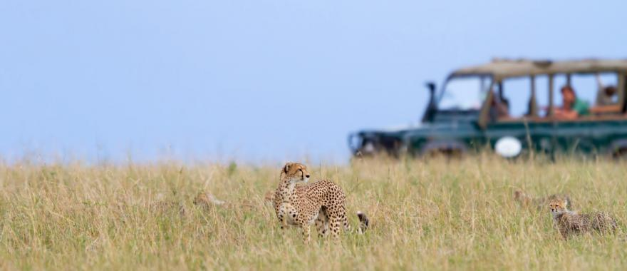 Tourists stop to admire two cheetah in Masai Mara National Park.