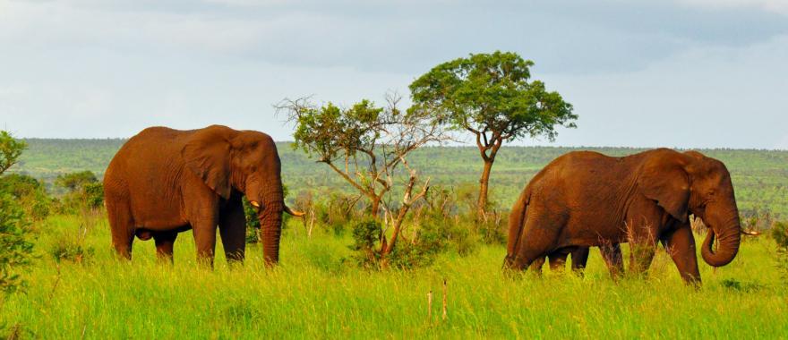 Elephants graze in Kruger National Park, South Africa.