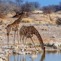 Giraffes at a waterhole in Namibia.