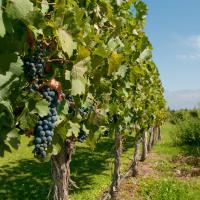 Vineyards at winery in Mendoza.