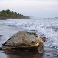 Sea turtle at Tortuguero National Park.
