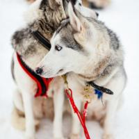 Dog sledding in Lapland.