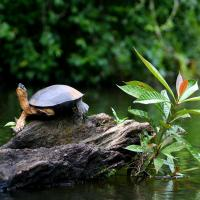 Turtle at Tortuguero National Park.
