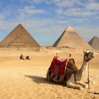 Camel in front of the pyramids in Giza.