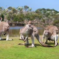 Kangaroos in Phillip Island Wildlife Park.