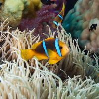 Clownfish in a sea anemone in Fiji.