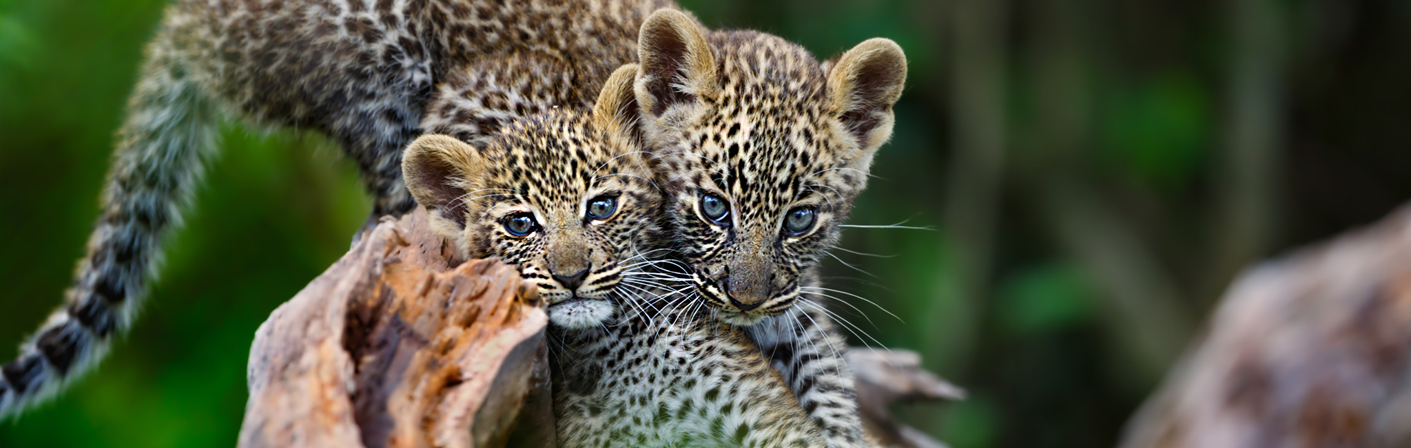 Tanzania Safaris - Pair of leopard cubs